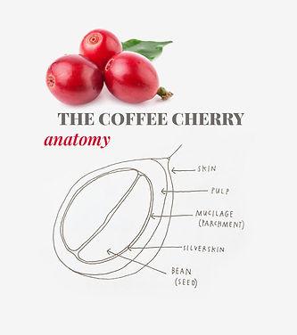coffee-chery-anatomy.jpg