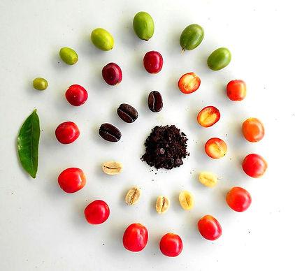 anatomy-of-the-coffee-bean.jpg