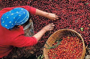 Harvesting-coffee-2.jpg