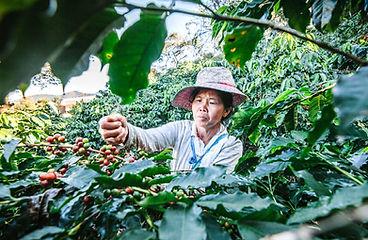 Harvesting-coffee-1.jpg