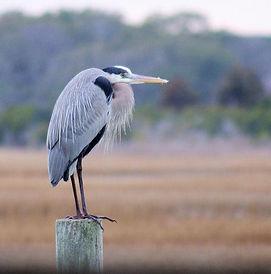 Great Blue Heron - WB.jpg