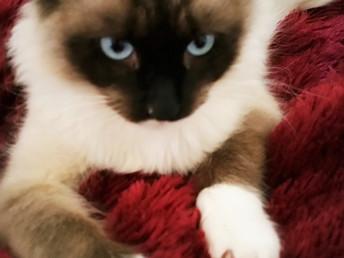 El gato ideal… Según tu signo del zodiaco ....