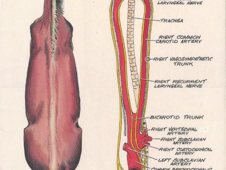 Nerf vague - Vagus nerve