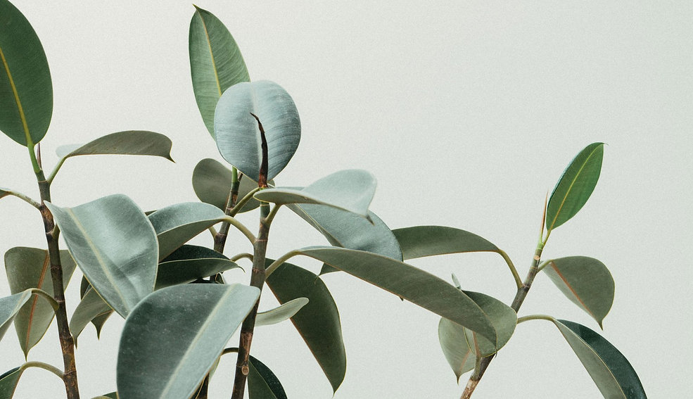 indoor-trees-rubber-tree-scott-webb (1).