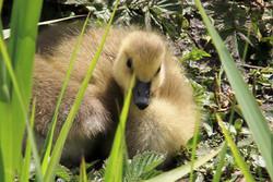 Baby goose at Cosmeston