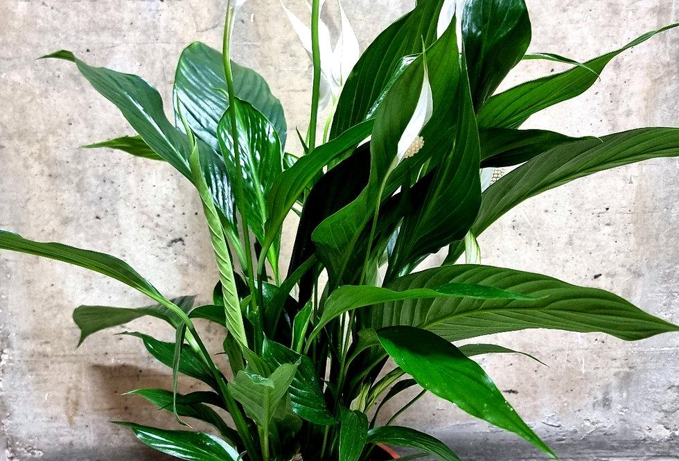 Spathiphyllum Bingo 80cm tall Peace Lily