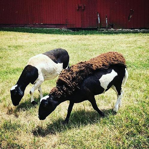 Spot & Little Bit (hair sheep)