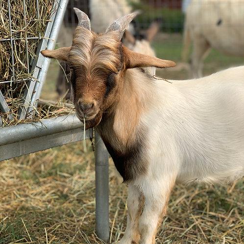 Timothy (billy goat)