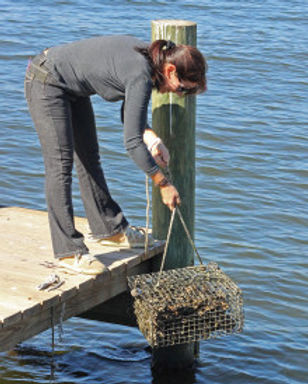 oyster restoration.jpg