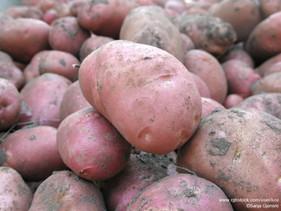 Is de zoete aardappel een pakketje vol voordelen?