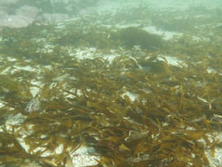 Does kelp flow downstream?