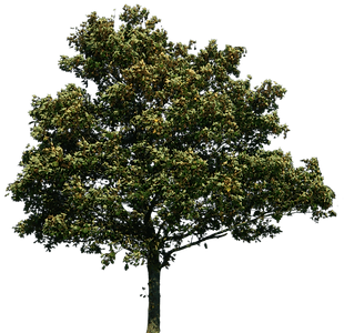 tree-png-tree-png-image-download-picture