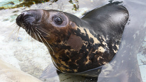 WELCOME HOME  | Grey Seal Finds New Home at Brookfield Zoo & She Has the Cutest Name