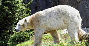 BROOKFIELD ZOO | Bear Awareness Celebration Goes Virtual