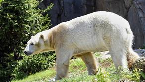 BROOKFIELD ZOO | Bear Awareness Celebration Goes Virtual