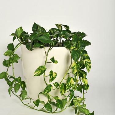 Trailing devil's ivy