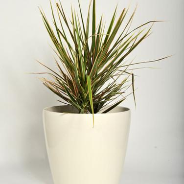 dracaena marginata tri-colour