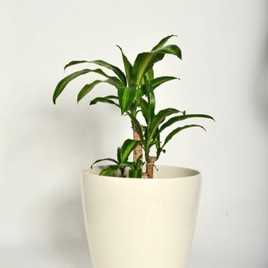 Dracaena 'happy plant'