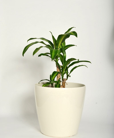 Dracaena 'happy plant'