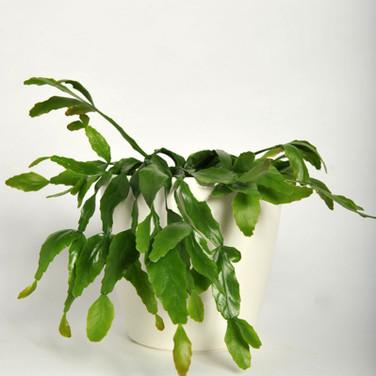 Mistletoe Cactus 2