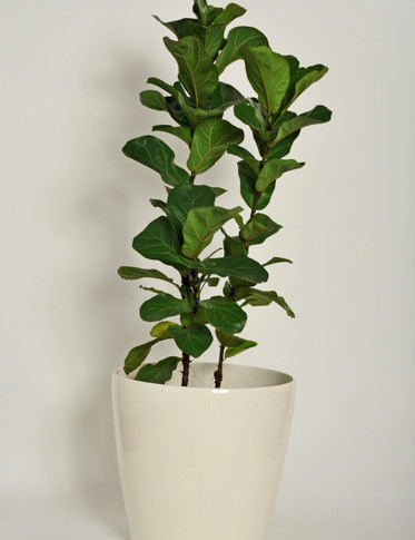 Fiddle Leaf Fig 'bambino'