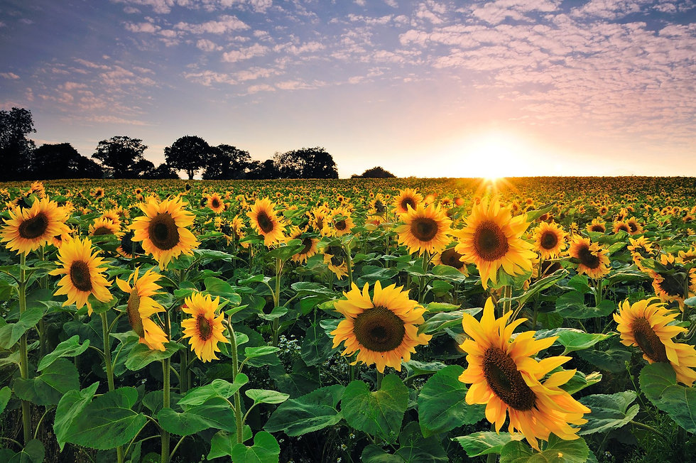 sunflower-at-sunset-royalty-free-image-1