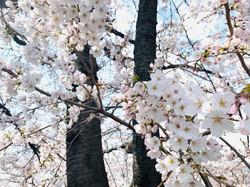 桜_210326