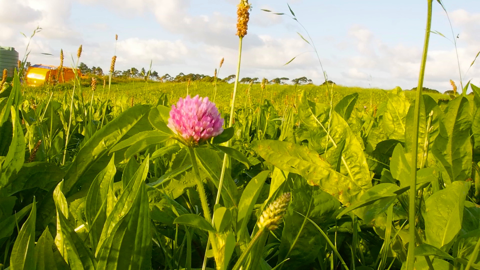 Pasture - Red Clover-Chickory
