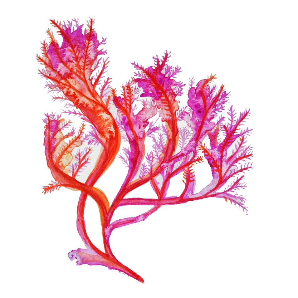 Study of Purple Kelp