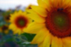 sunflower-1772005_960_720.jpg