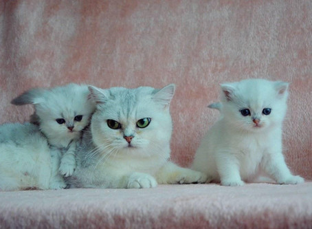 All About British ShorthairCats