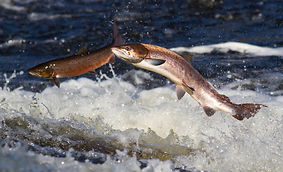 zoochetverg-salmon-03.jpg