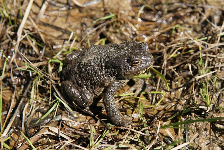 Самка серой жабы покидает водоем