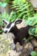 Etsy Goat.jpg