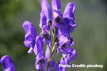 monkshood_edited.jpg