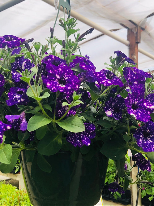 Night Sky Petunia Hanging Basket