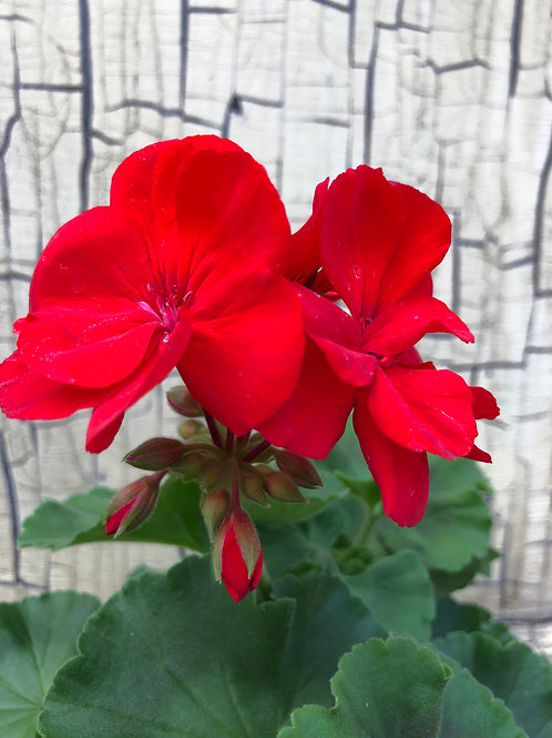 "5.5"" Square Potted Geraniums"