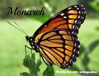 Common Butterflies in Minnesota