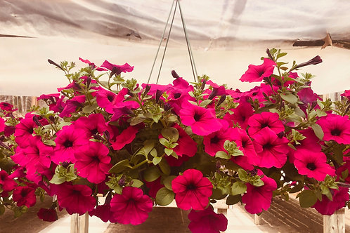 Wave Petunias Hanging Basket