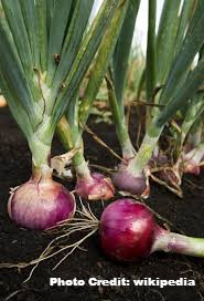 Beier's Guide to Onions