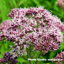 Eupatorium_edited.JPG