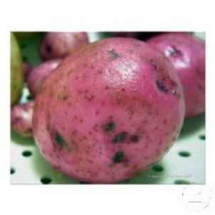 Norland Red Potatoes
