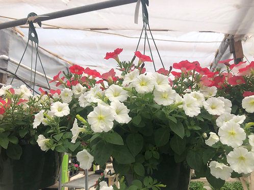 Red and White Petunia Hanging Basket