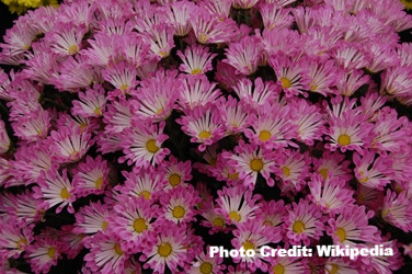 Hardy Mums: Garden Gems
