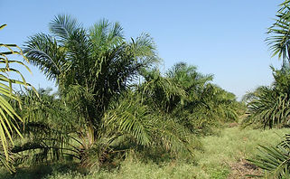 oil-palm-plantation.jpg