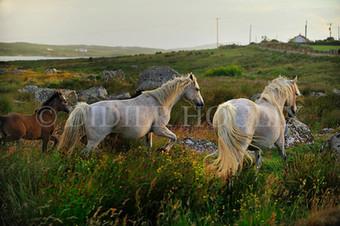 Connemara. County Galway. Irlande