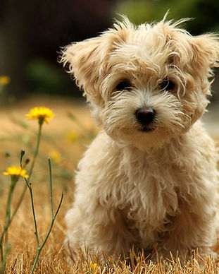 Poodle_Puppy.jpg