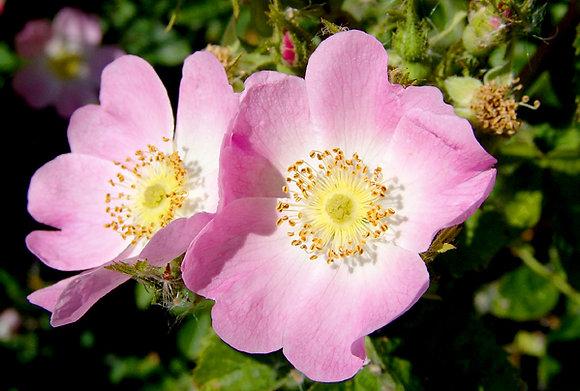 Wild Rose 野玫瑰 10ml