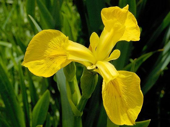 Wild Iris 野鳶尾花 10ml