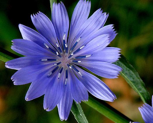 Chicory 菊苣 10ml